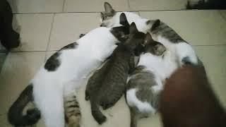 Funny black and white cat behavior