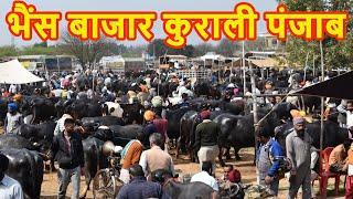 Unloading of Murrah Buffaloes at Kurali Mandi II Murrah Buffaloes II Murrah Haryana