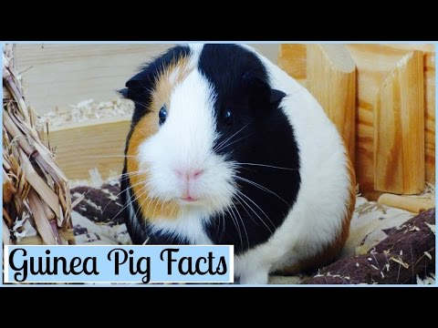 10 Interesting Facts About Guinea Pigs