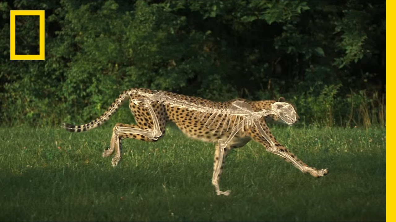 hight resolution of leopard anatomy diagram