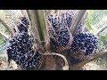 Palm Oil Seeds Cutting Process   Palm Oil Farming   Village Vlogs