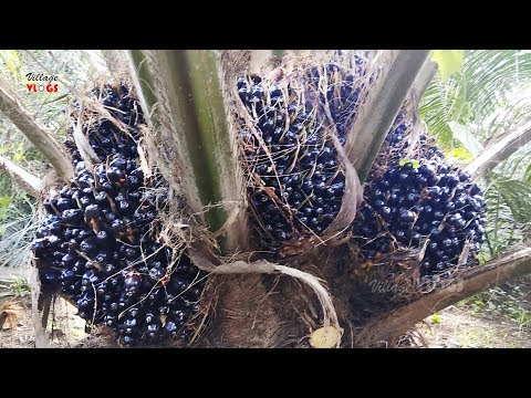 Palm Oil Seeds Cutting Process | Palm Oil Farming | Village Vlogs