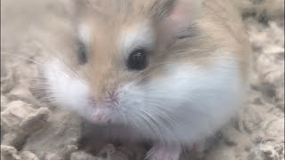 The Dawn of Carl the Hamster