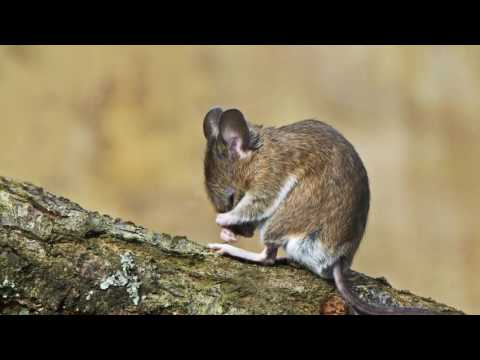 Фото грызунов: крысы и мыши * HD (Photography Rodent: Rat And Mouse)