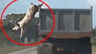 Pig jump from moving truck to escape slaughterhouse; Chinese farmer rides pig to town - Compilation