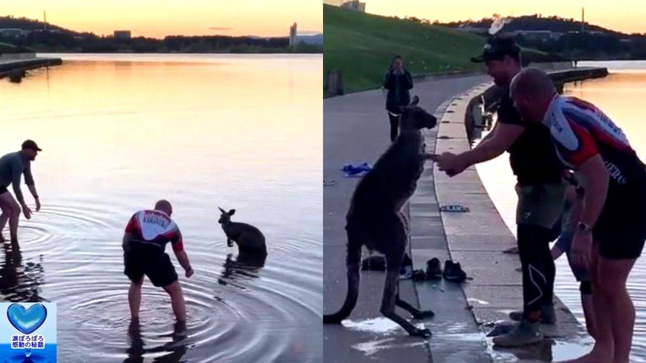 凍りつく湖から救出されたカンガルーが感謝を示し助けてくれた人の手を握る姿に心温まる【感動】