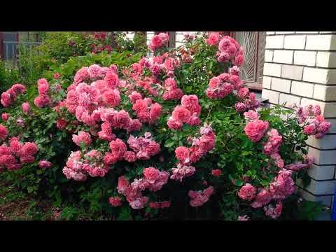 Роза Розариум Ютерсен-самый неприхотливый и обильно цветущий сорт