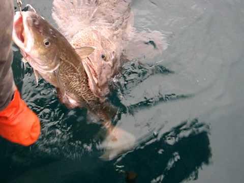 Alaskan killer ling cod must see must see must for Alaska fish counts