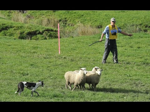 Tux North Island and New Zealand sheep dog championships