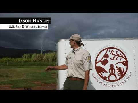 Jason Hanley: Guinea Grass