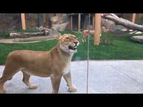 You Can Now View The Erie Zoo's Lions In Their New Outdoor Exhibit