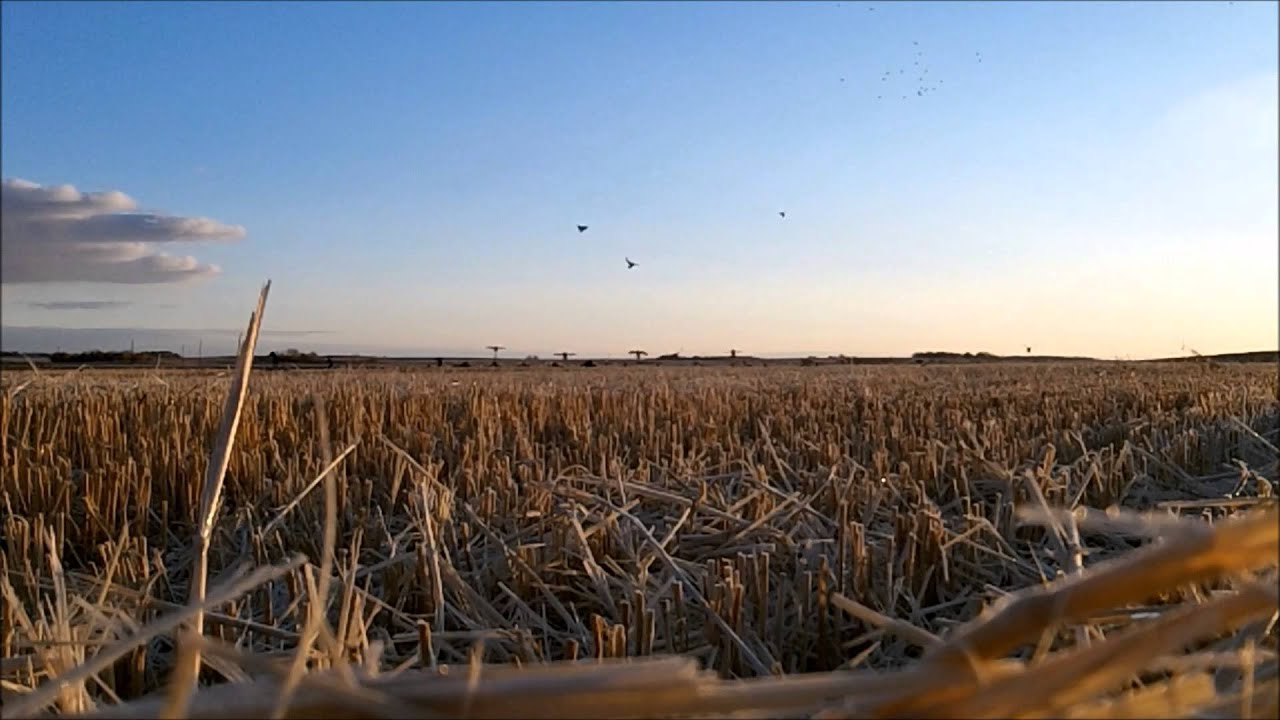 Download Dry Field Mallard Hunt in Saskatchewan Canada