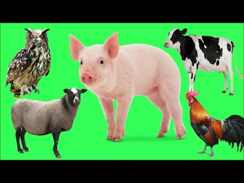 Learn Farm Animals Name and Sound   Pig, Sheep, Cow, Rooster, Owl  Animals In Real Life For Kids