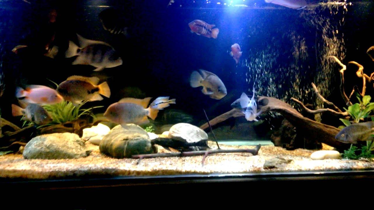 Fish Wallpaper Hd American Cichlids Community Tank Youtube