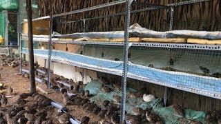 Mô hình nuôi cнim cút thả vườn khép kín có 1-0-2 ở Cần Thơ