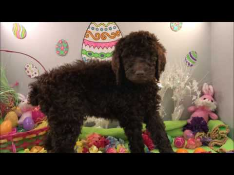 Female Standard Poodle Puppy