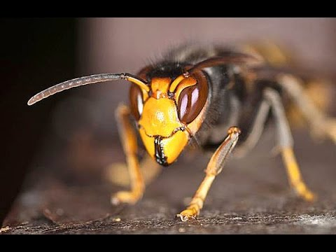 DRONES? No. They're Deadly Hornets 4 Times Size of Wasps!