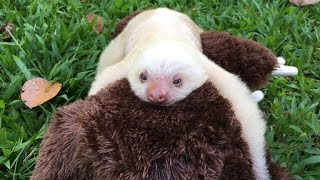 Abandoned White Sloth Clings to Stuffed Animal for Emotional Support