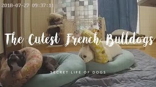 The Cutest Frenchies We've Ever Seen! | Furbo Dog Camera