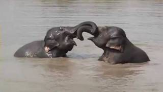 Elephants Playing in the Water in Cambodia