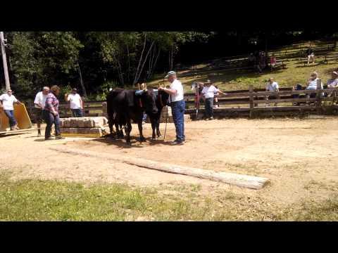 Gordon Robinson Stratham Fair 2015 Ox Pulling