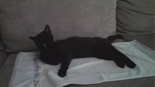 Взял кошку с улицы  , обживает квартиру ( Бомбейской породы )