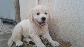 Golden Retriever Puppy Growing Up