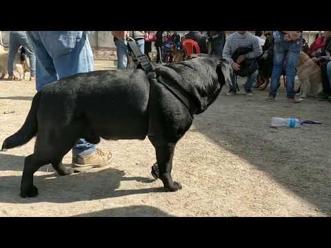 Black Labrador - 9th Grand Dog Show 2019, Nepal Winner