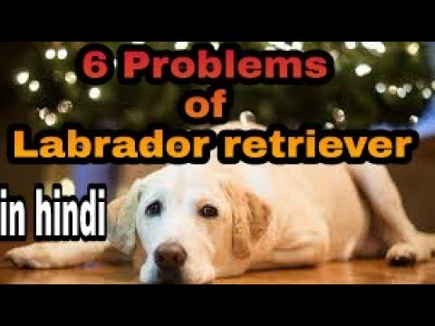 6 Problems of labrador retriever in hindi |health problem|| dogs biography