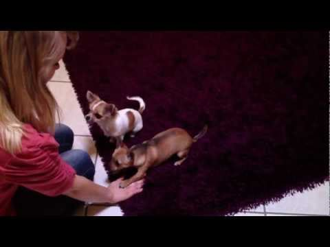 Chihuahua`s lernen Kommandos.mp4