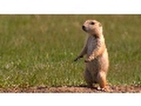 Prairie Dog Snake Alarm | American Serengeti
