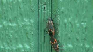 Download Video Boxelder bugs mating & laying eggs MP3 3GP MP4