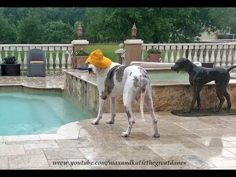 Funny Great Dane goes Swimming in the Rain