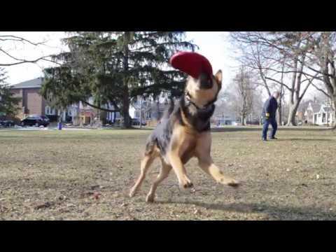 Frisbee Catching Sheprador in slow motion