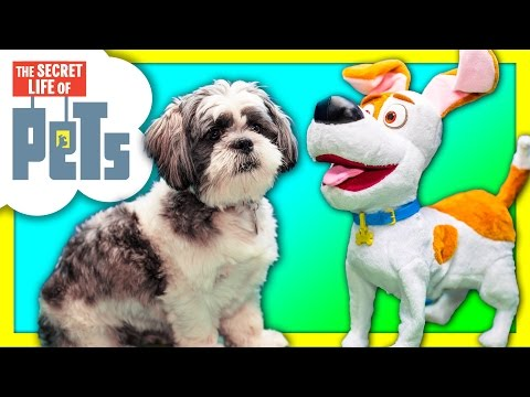 ASSISTANT With Secret Life of Pets Max Meets Wiggles Funny Live Action Toys Video