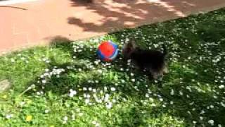 Yorkshire Terrier Barking A Lot
