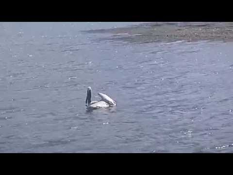 Catching a Pelican