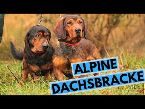 Alpine Dachsbracke Dog Breed - Facts and Information