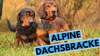 Alpine Dachsbracke Dog Breed  Facts and Information