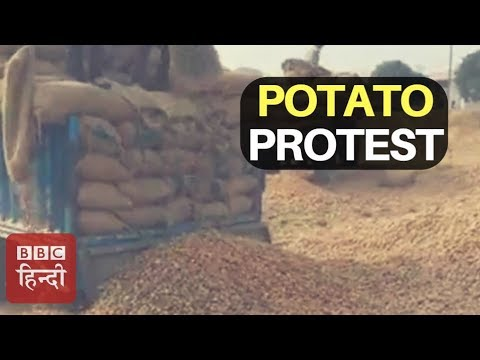 Why Farmers Are Throwing Potatoes Not Selling In Agra, Uttar Pradesh? : BBC Hindi