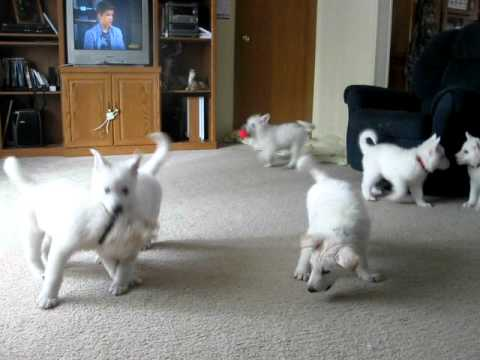 7 week old White German Shepherd puppies