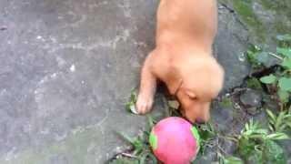6 Week Old German Shepherd/golden Retriever Mix Puppies(dumaguete)