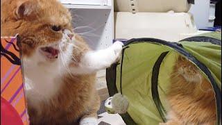 短足ねこ、マンチカンの一家。 パパ猫のティオは気が弱いので、すぐに喧...