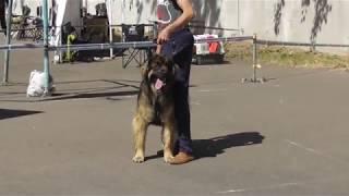 Леонбергер, большая немецкая собака