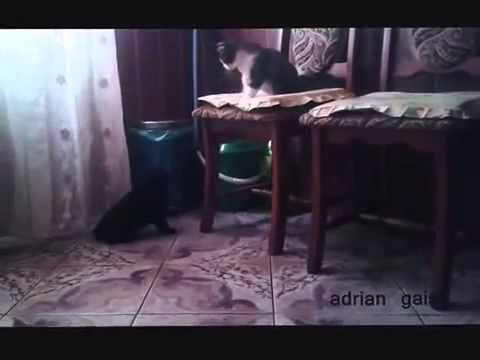 не допускам мъжкари - Black female cat doesnt allow male cat to occupy her house
