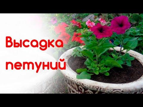 Высадка петуний в горшки  Состав грунта, объем вазона, удобрения