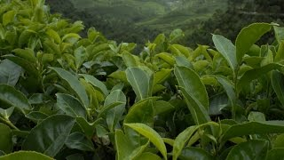 Indian Tea Estates make Great Weekend Getaways