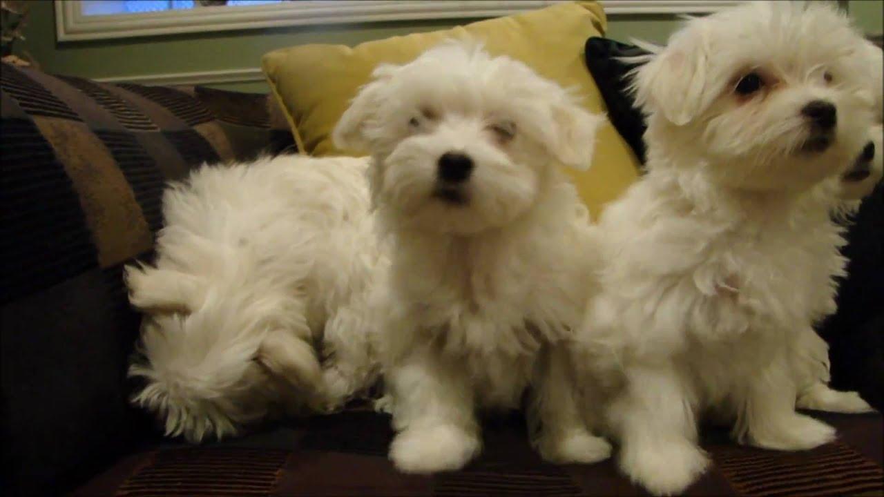 12 Week old Maltese Puppies! [10.10.10]
