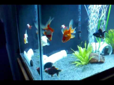 Aquarium fish tank for sale - 75 Gallon Fancy Goldfish And Axolotl Aquarium Youtube