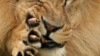 Смертельная схватка Льва и Леопарда(Лепард убил Льва., 2015-03-27T12:27:03.000Z)